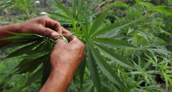 O novo instituto distribui autorizações de cultivo e registra consumidores.