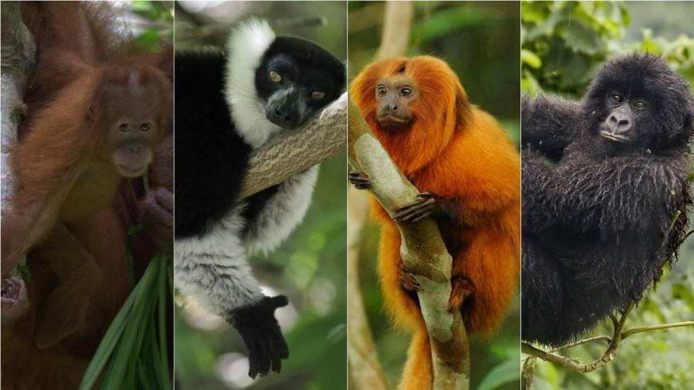 Um orangotango de Sumatra, um lêmure de Madagascar, um mico-leão-dourado do Brasil e um gorila das montanhas congolês.