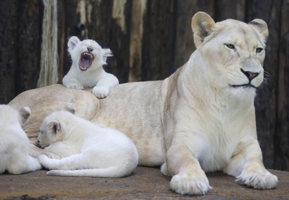 Leoa e seus filhotes, num zoológico da Alemanha.