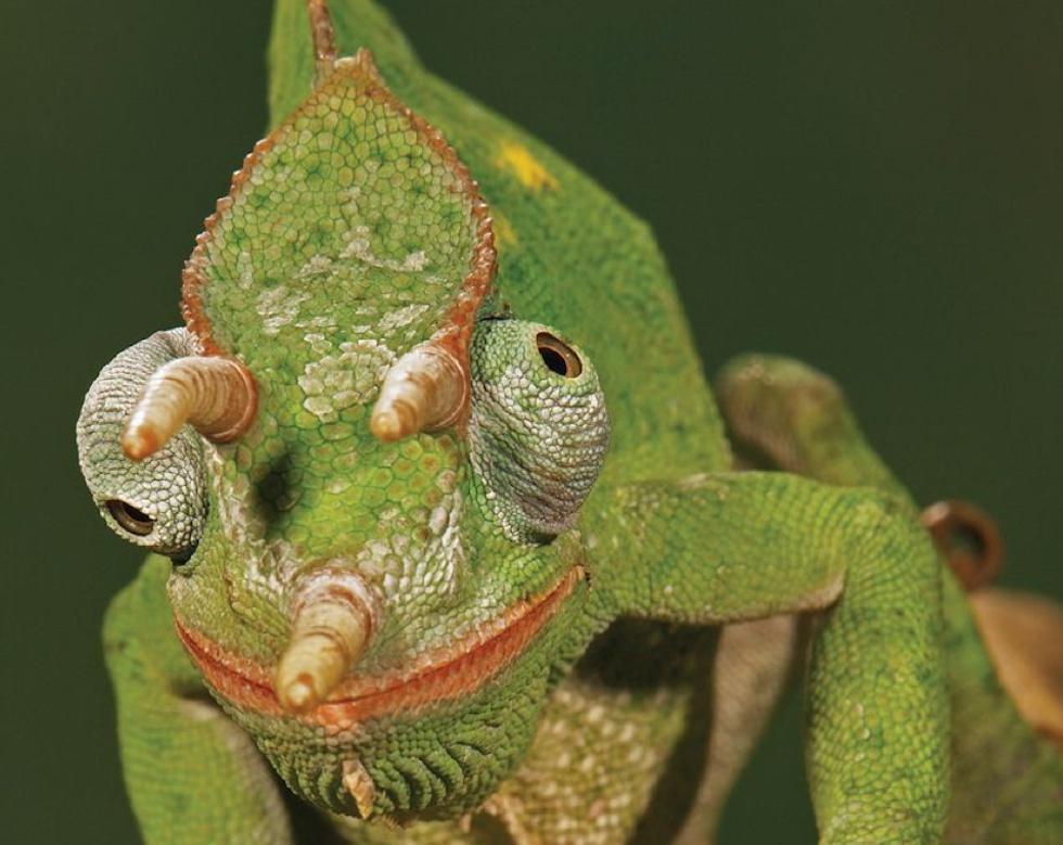 O camaleão-de-Jackson tem três chifres e, como todos os camaleões, dois olhos que lhe permitem ver em direções diferentes.