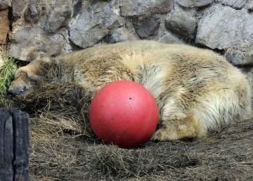 Tinha 30 anos e passou por uma longa agonia no questionado zoológico de Mendoza