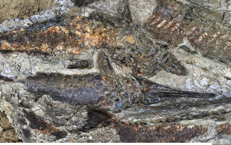 Imagem de vários peixes fossilizados, de 65 milhões de anos, em Tanis.