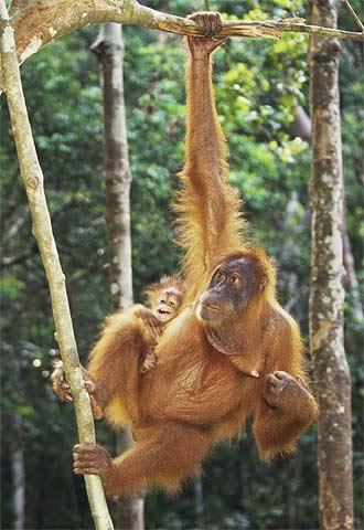 Un orangután en la selva de Sumatra.