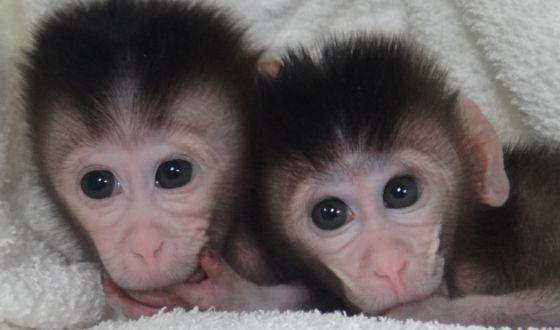 Foto dos primeiros macacos transgênicos.