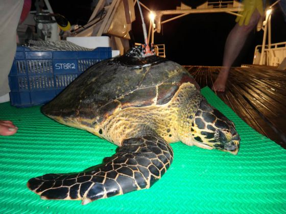 Uma tartaruga que teve um chip implantado