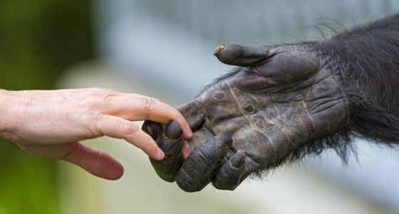 Humanos e primatas compartilham características e qualidades.