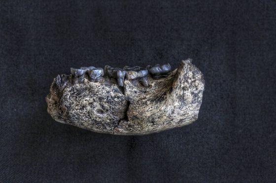 Mandíbula humana de 2,8 milhões de anos encontrada em Ledi-Geraru (Etiópia). Seu nome científico é LD350-1.