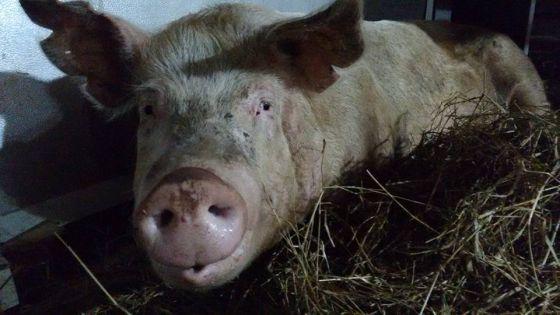 Uma das porcas resgatadas descansa em abrigo.
