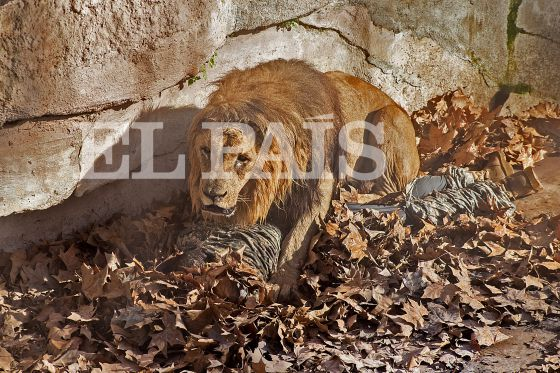 Um leão ataca um homem que entrou na zona dos felinos do zoo de Barcelona.