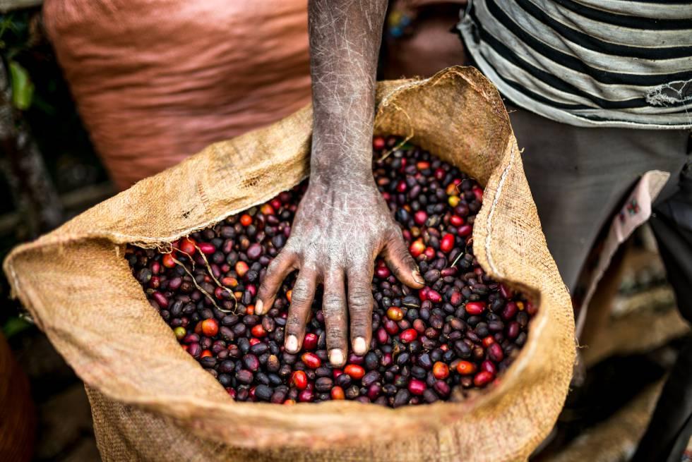 Café recém cosechado em Yayu, no sudoeste de Etiópia, a terra do 'Arabica'.