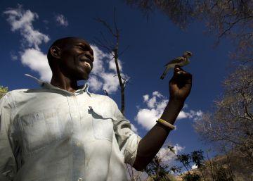 Uma espécie de ave se comunica com os membros de uma tribo africana para procurar mel