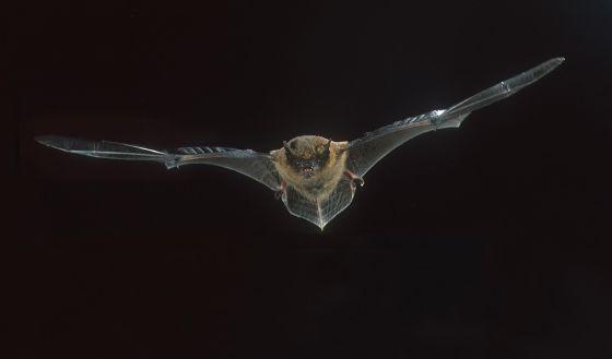 Um morcego levou o ebola à África Ocidental.