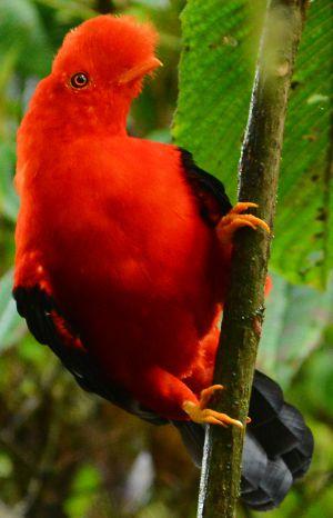 O galo da serra andino, da família cotingidae, tem entre seus antecessores as primeiras aves arborícolas.