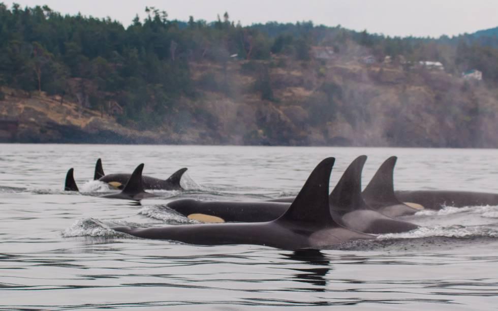 Família de orcas sedentárias da costa oeste dos EUA incluídas no estudo.
