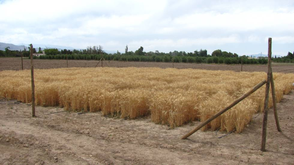 Apresentação de um teste de trigo transgênico na Argentina, em 2014.
