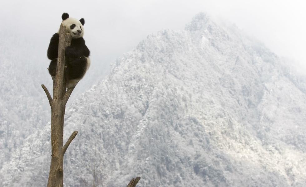 A análise de mais de 10.000 populações de vertebrados (mamíferos, pássaros, peixes, répteis e anfíbios) concluiu que esses grupos de animais diminuíram em 52% entre 1970 e 2010. Os especialistas em mudança climática já confirmaram que o fenômeno irá provocar a sexta grande extinção de espécies da história da Terra, por culpa de atividades humanas que estão provocando alterações terríveis nos ecossistemas e na vida selvagem. A ONG conservacionista WWF publicou um relatório com dez espécies emblemáticas que estão nesse beco sem saída, como o panda gigante. No caso dele, a mudança climática ameaça acabar com o bambu, uma planta muito vulnerável e alimento essencial em sua dieta.