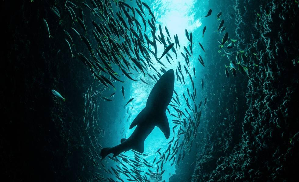 Quase um terço dos tubarões está ameaçado.