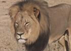 O cidadão de Minneapolis, Walter James Palmer, abateu o felino que agonizou 40 horas antes de morrer em Hwange (Zimbábue)