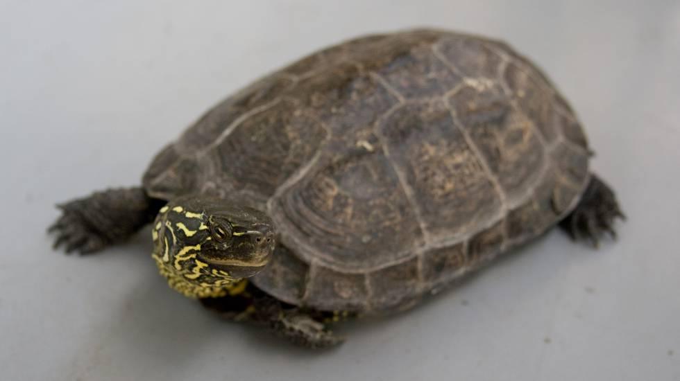 Um exemplar adulto de tartaruga chinesa de três quilhas.