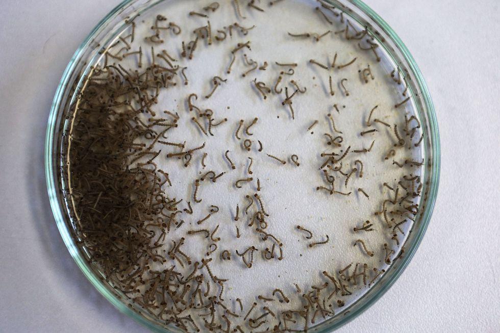 Larvas do mosquito 'Aedes aegypti', que transmite o zika vírus.