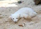 Após quatro anos, equipe de zoólogos e neurólogos identificam doença autoimune que matou o urso polar mais famoso do mundo