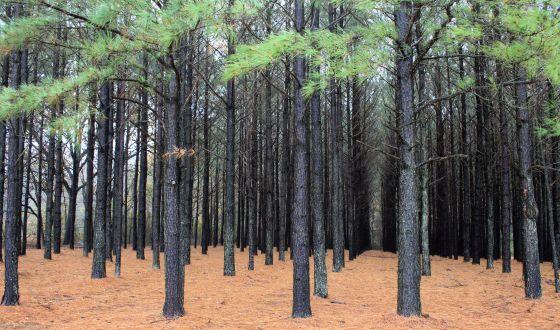 Plantação de pinheiros taeda.