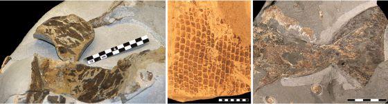 Pele de uma tartaruga; escamas de um mosasaurus; e barbatana de ictiossaurio.