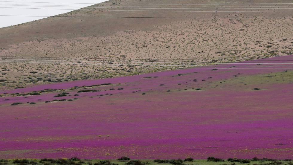 O deserto chileno com flores.