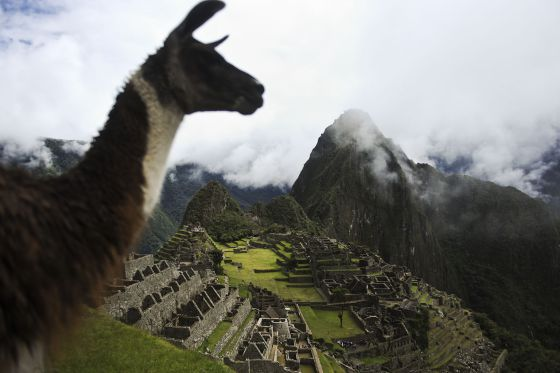 Uma lhama com em Machu Picchu ao fundo.