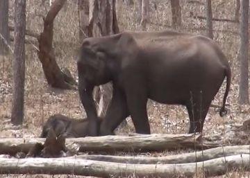 Estudo reúne episódios que mostram como os elefantes da Ásia também sofrem com o final da vida