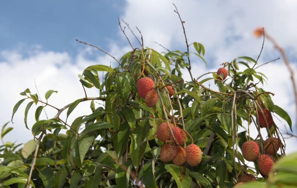 Um exemplar da 'Litchi chinensis', a árvore tropical cuja fruta é comida sob o nome de lichia.