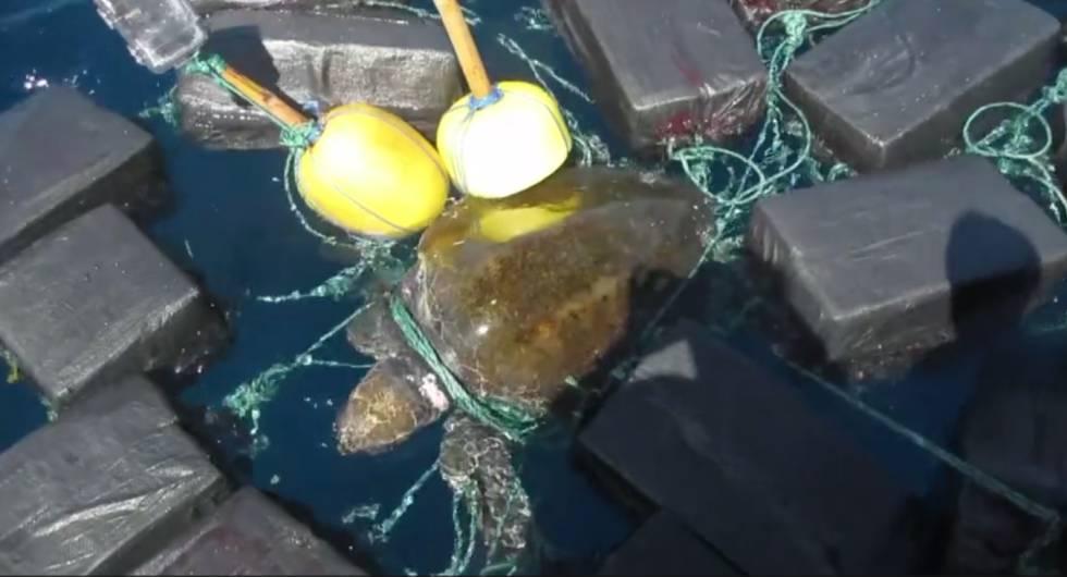 A tartaruga enredada em fardos de cocaína.