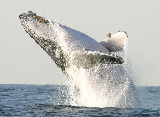 Uma baleia jorobada salta na costa da África do Sul.