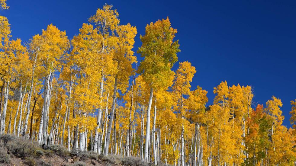 Pando, a colônia clonal que surgiu de uma única árvore da espécie Populus tremuloides