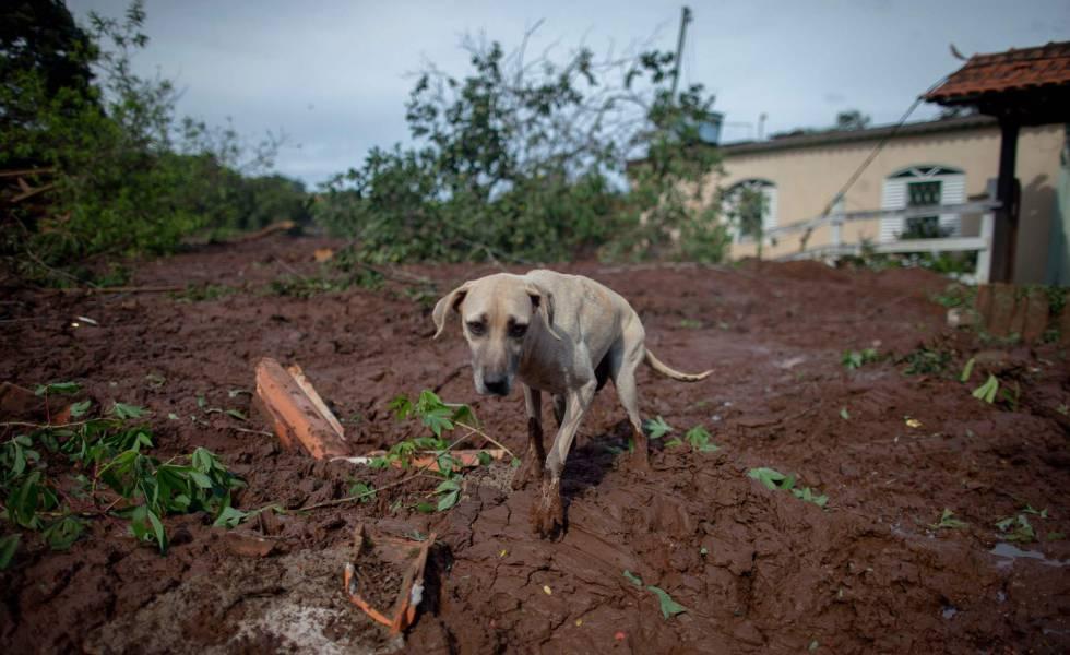 Cachorro caminha pela lama perto de casa soterrada em Brumadinho.
