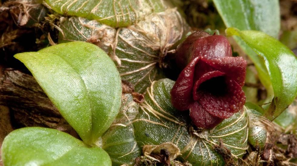 Uma nova espécie de orquídea, 'Porpax verrucosa', encontrada no Camboja.