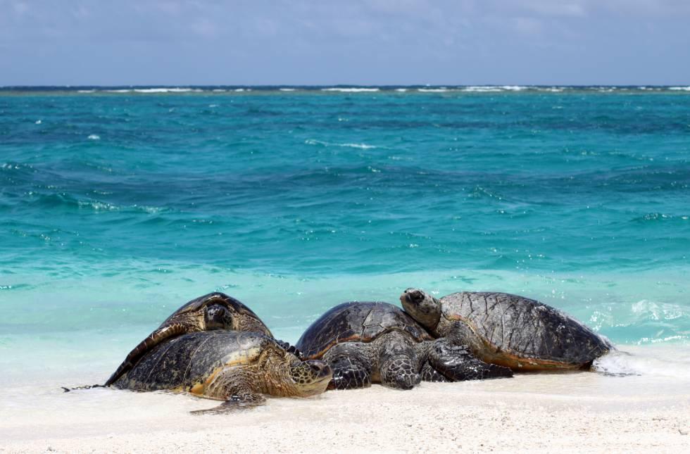 87% das tartarugas-verdes adultas analisadas são fêmeas.
