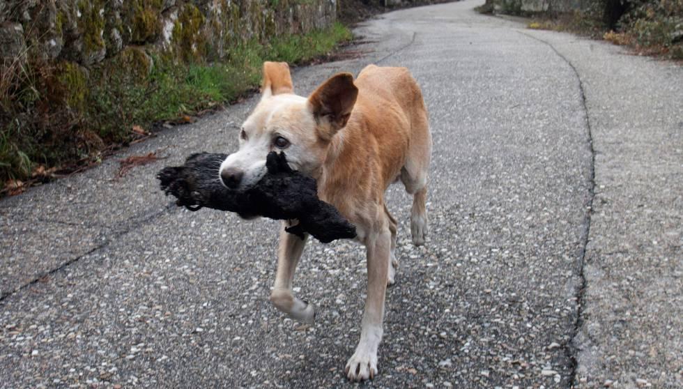 Uma cachorra carrega o corpo carbonizado de sua cria