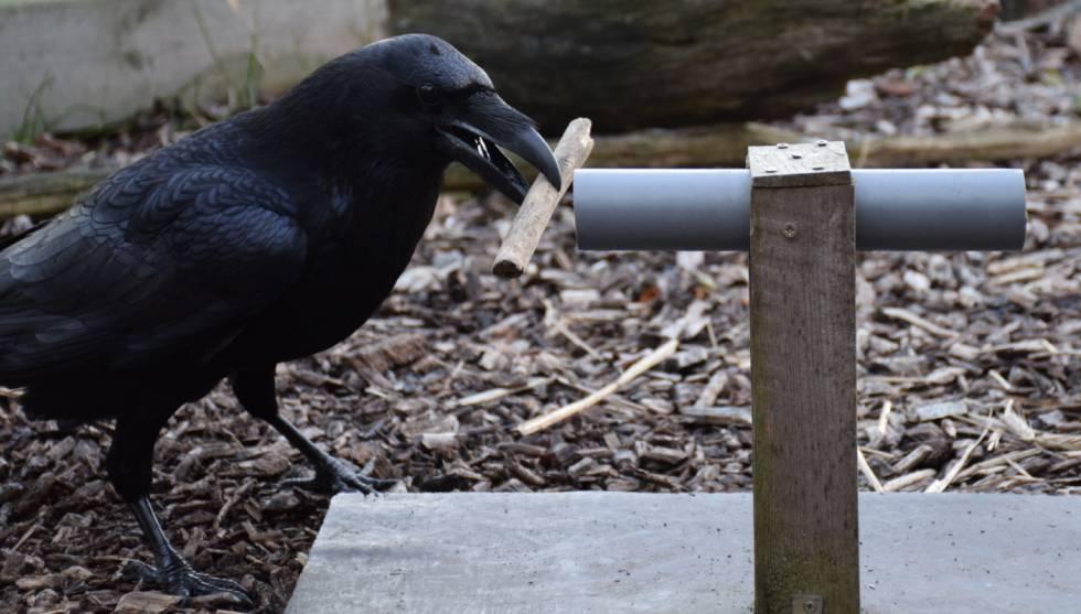 Um dos corvos, durante o experimento.