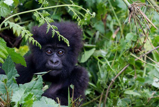 Filhote de gorila das montanhas, espécie em risco de extinção.
