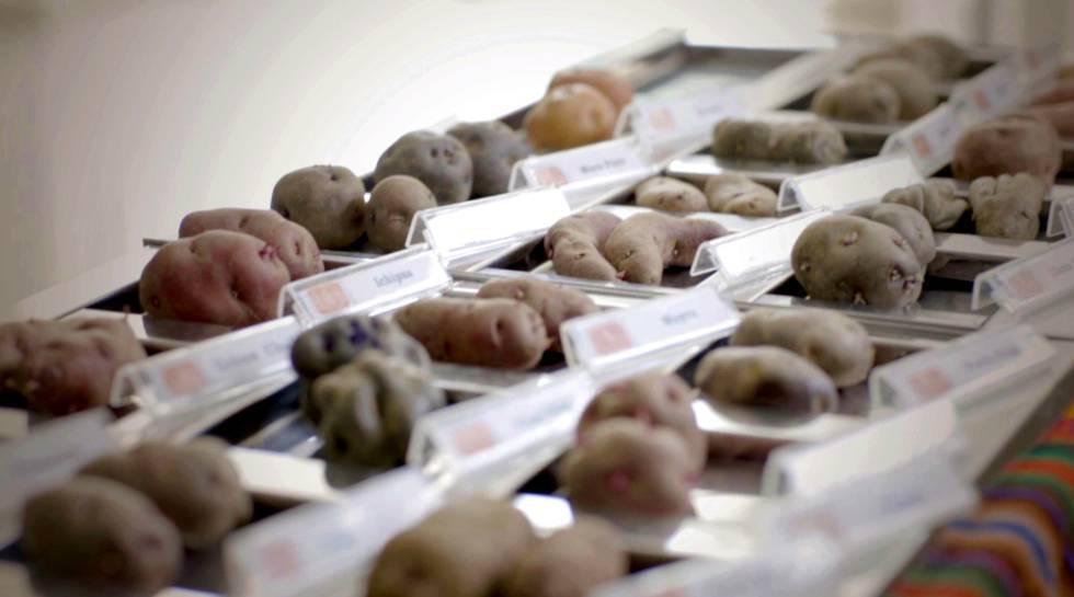 Variedades de batata usadas na experiência.