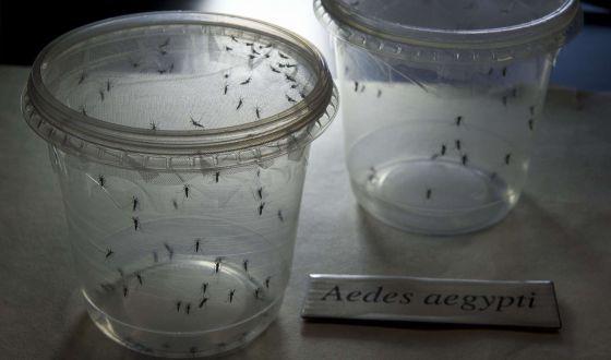 Mosquitos Aedes aegypti, transmissores do vírus zika, no Instituto de Ciências Biomédicas da Universidade de São Paulo no dia 8 de janeiro.