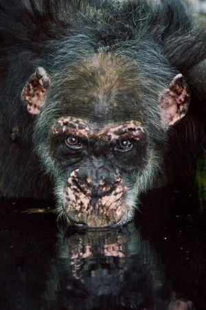Um velho chimpanzé bebe água em um lago, em Fongoli, no Senegal.