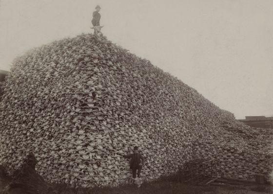 A superexploração dos recursos é um dos fatores que estão acelerando a extinção. Na imagem, montanha de crânios de bisões norte-americanos.
