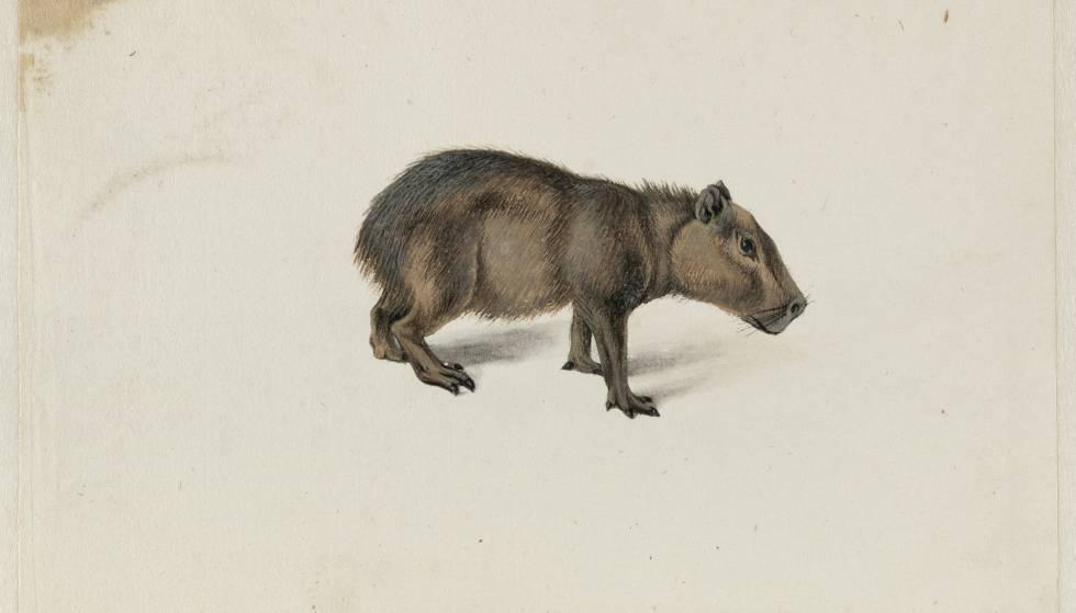 Acuarela de um capibara desenhado por Frans Pós em sua viagem à colônia holandesa no Brasil.