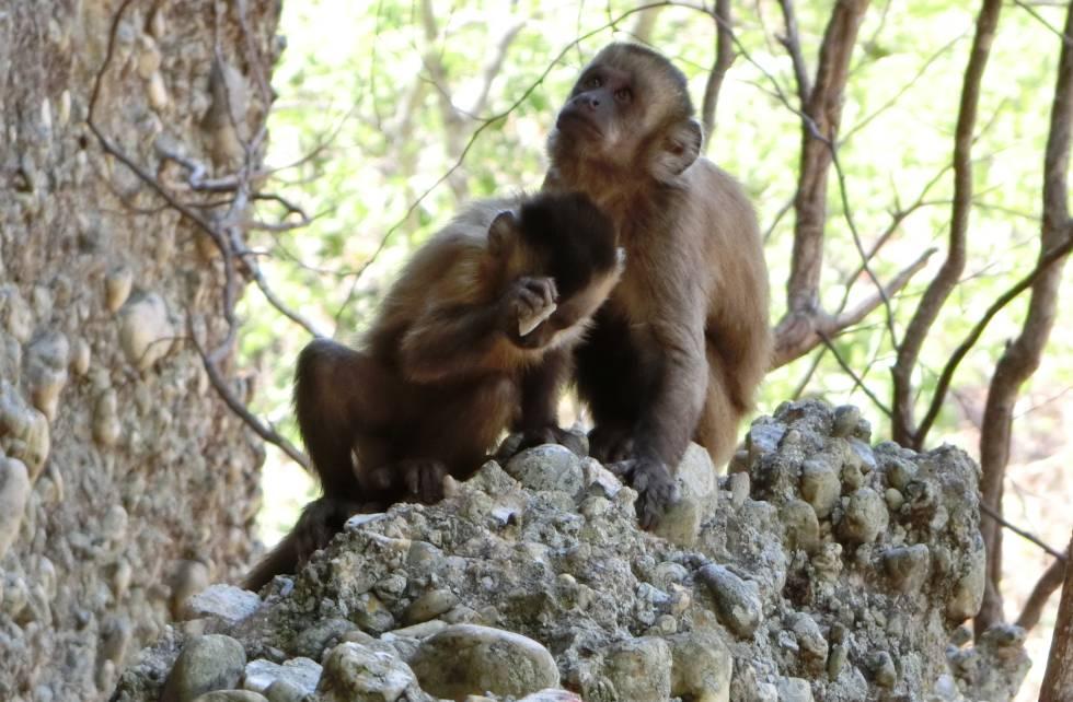Dois dos macacos da Serra da Capivara no lugar onde quebram as pedras